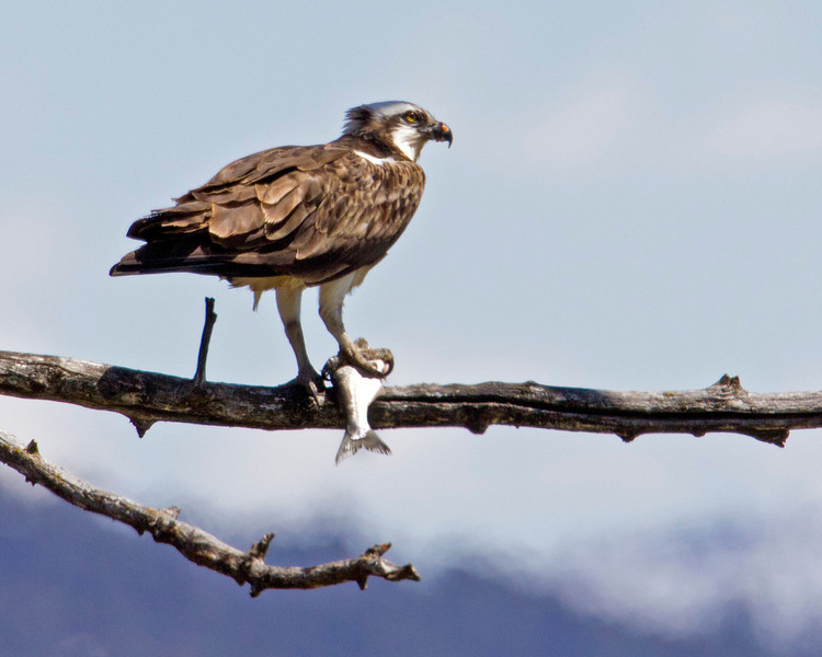 Osprey eating fish over Snake River near Swan Valley, Idaho. May 2011