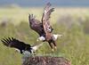 Bald Eagles in RRLNWR