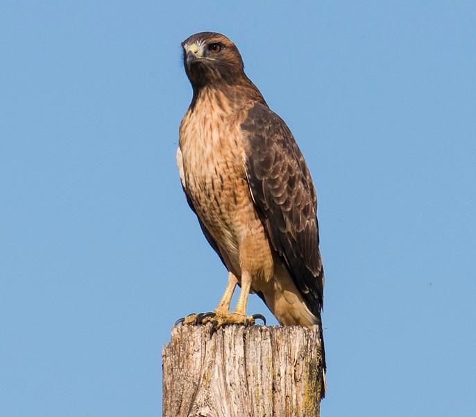 Red-tailed Hawk near Isleton, CA