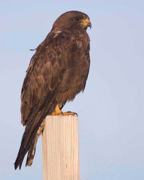 Adult dark Swainson's Hawk in Island Park, Idaho. Aug 20 2009