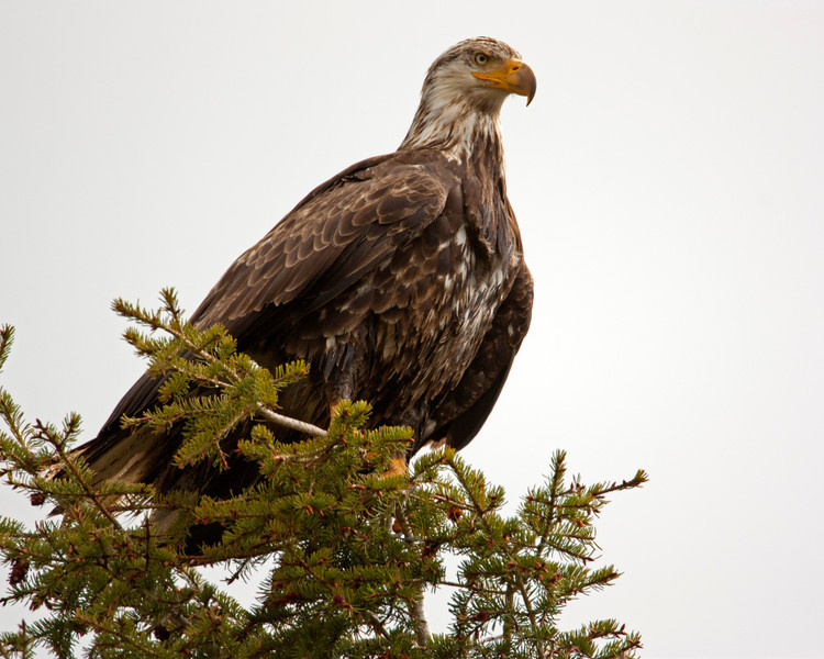 Two year old Bald Eagle in Red Rock Lakes National Wildlife Refuge. May 18, 2012