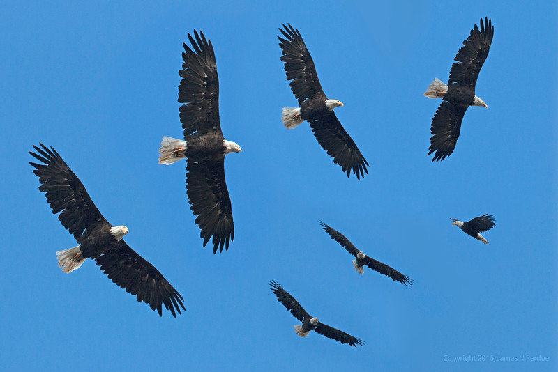 Collage of Bald Eagle adult
