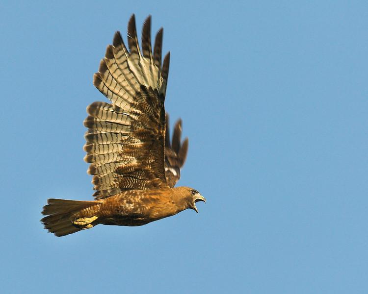 Red-tailed Hawk in flight in Island Park, ID. July 18, 2007.