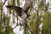 Osprey with fish, spread wings