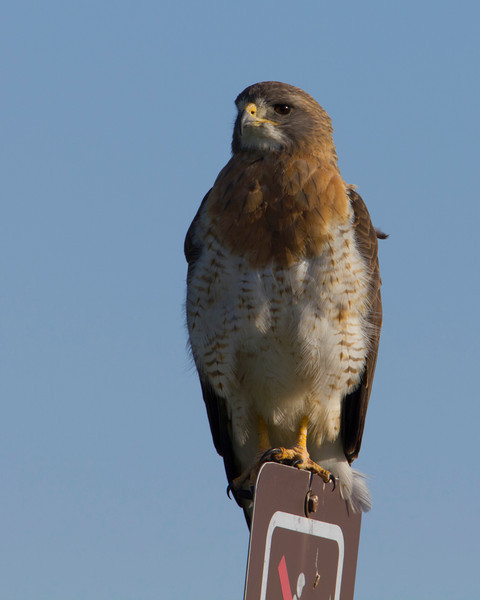 Swainson's Hawk along North valley road in Red Rock Lakes National Wildlife Refuge. July 29,2011.