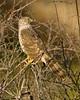 Juvenile Coopers Hawk in Silent Valley San Jacinto Mountains California Feb 29 2008