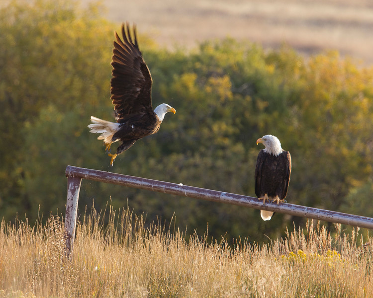 Bald Eagle taking off from Widgeon Pond