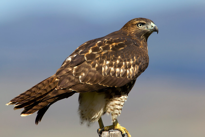 Red-tailed Hawk (note bluish-grey lores) at Red Rock Lakes National Wildlife Refuge. Aug 21, 2011.
