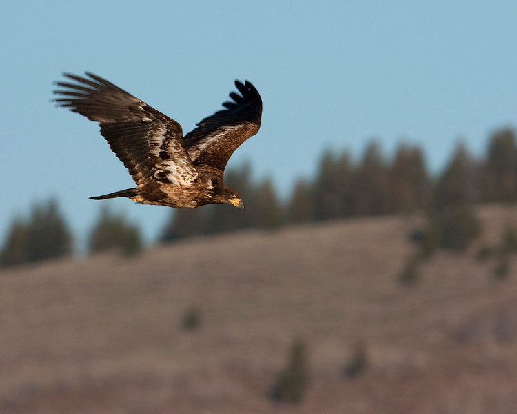 Juvenile Bald Eagle flying over Henry's Lake in Idaho. May 2010