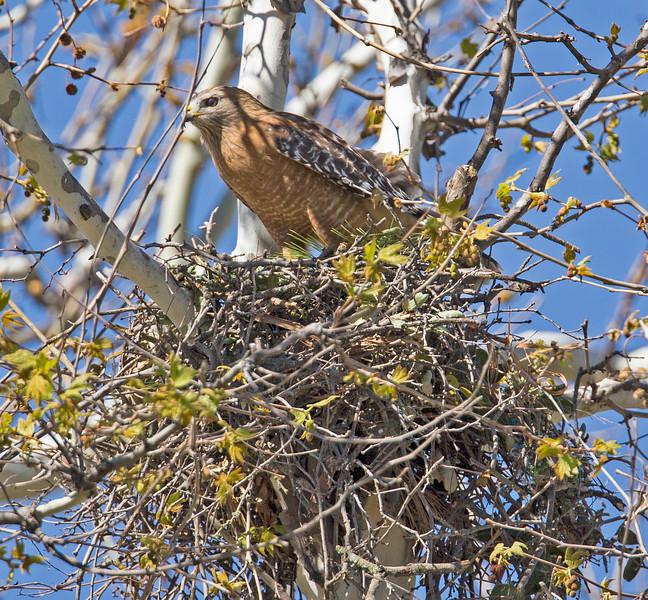 Red-shouldered Hawk in Nest