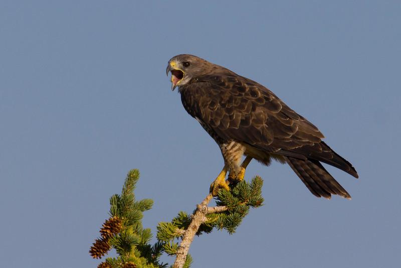 Swainson's Hawk (Buteo swainsoni) is screaming along Elk Creek Road in Red Rock Lakes National Wildife Refuge, Aug 18, 2012.
