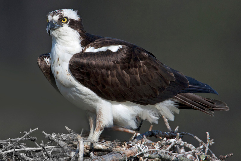 Osprey (male) along the Madison River on July 3rd, 2012.
