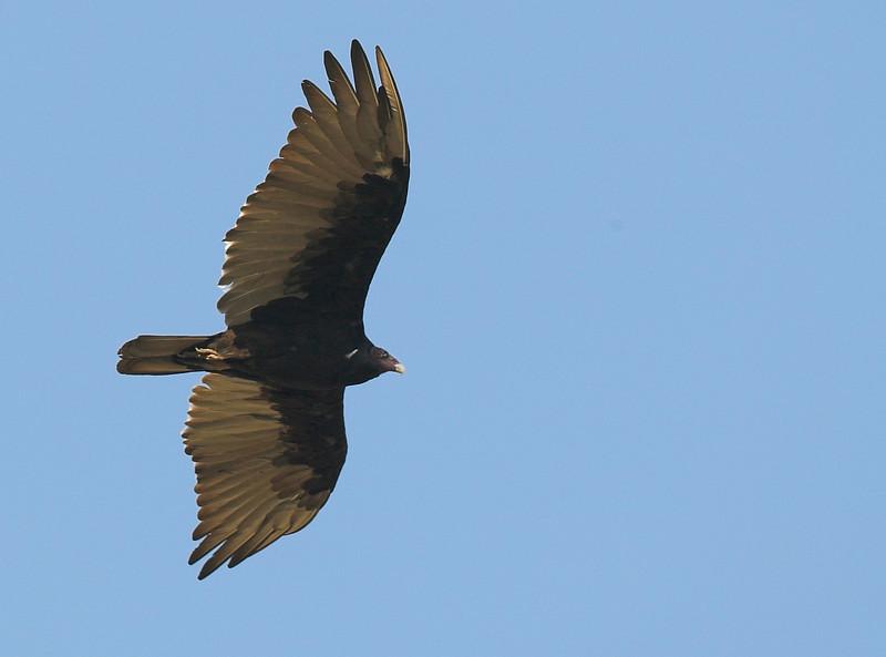 Juvenile Turkey Vulture flying over Sawtelle Meadows, near Island Park, ID. August 2007.