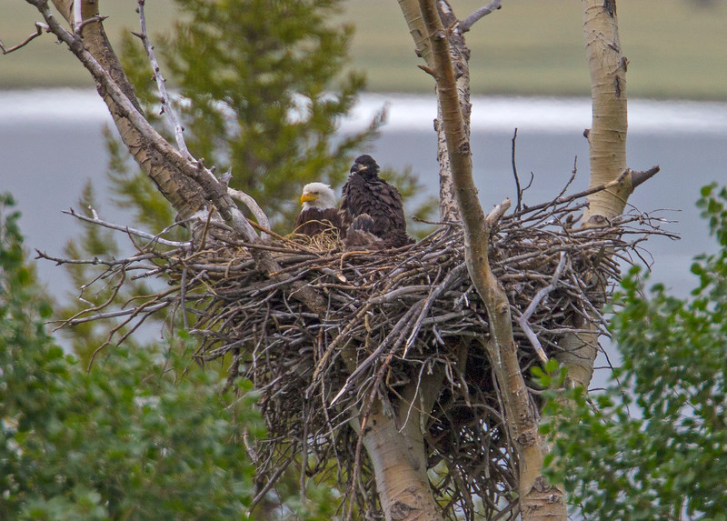 Eagles in nest along South Centennial Road, MT
