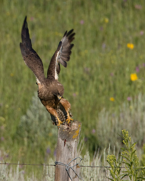 Red Tailed Hawk taking off from fence in Red Rock Lakes National Wildlife Refuge. Montana  July 10th, 2009.