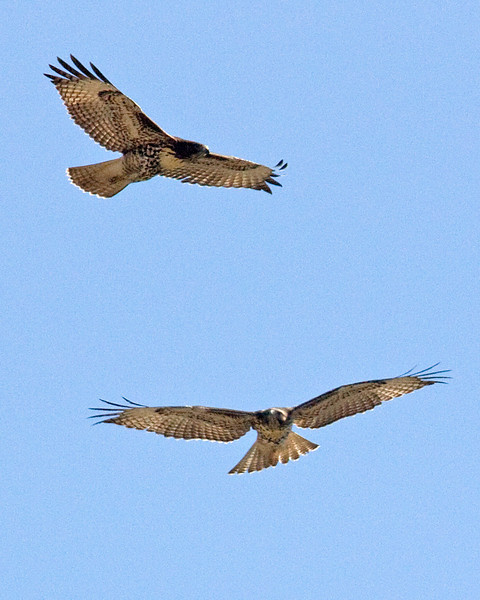 Red-tailed Hawks circling overhead.