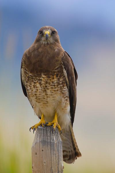 Swainson's Hawk RRLNWR