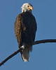 American Bald Eagle along Madison River in Yellowstone National Park on September 15, 2008.
