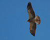 Swainson's Hawk flying over Highway 1 in Northern California, near the Russian River. Nov 2, 2010.
