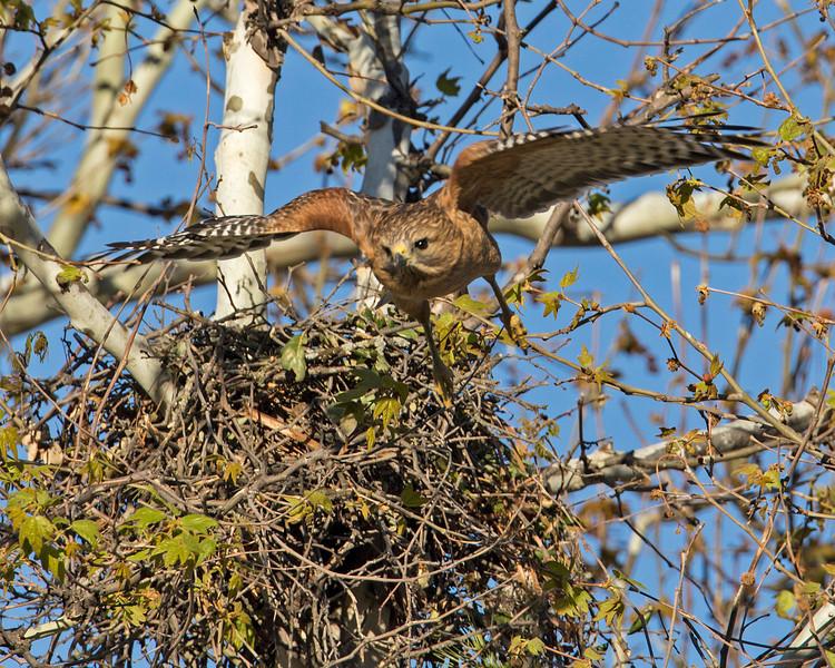 Red-shouldered Hawk Flying