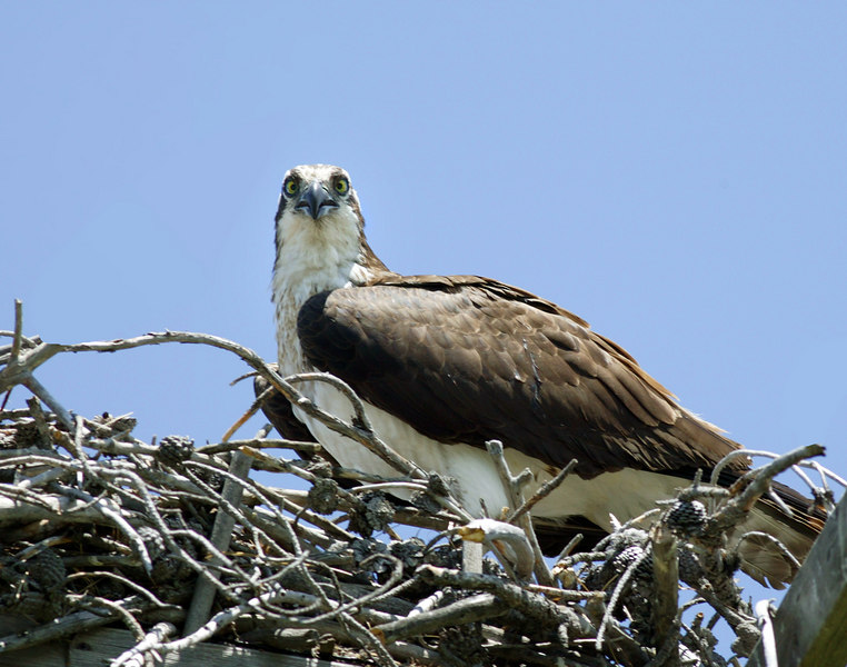 Osprey in nest next to Highway 20 near Island Park, ID, July 2006