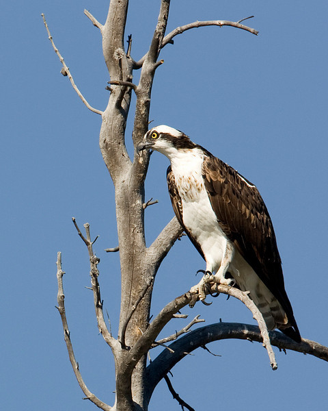 Osprey sitting over the Madison River in Yellowstone National Park looking for lunch, Wyoming. August 21, 2009