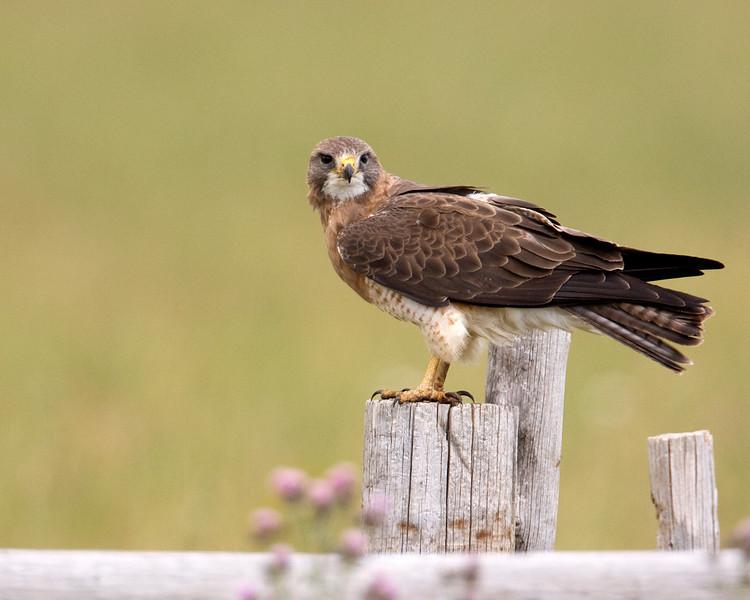 Swainson's Hawk along Red Rock Road in Island Park, Idaho. August 2009 Buteo swainsoni