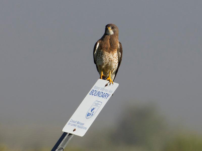 Swainson's Hawk at Red Rock Lakes National Wildlife Refuge. July 29, 2010