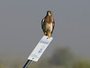 Swainson's Hawk at Red Rock Lakes National Wildlife Refuge. July 29, 2010