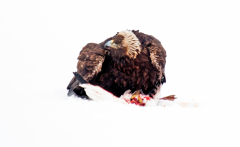 Golden Eagle with duck catch in snow