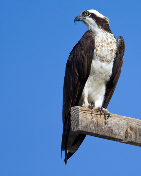 Osprey on perch at nest over Meadow Creek Road near Ririe, Idaho. May 2011