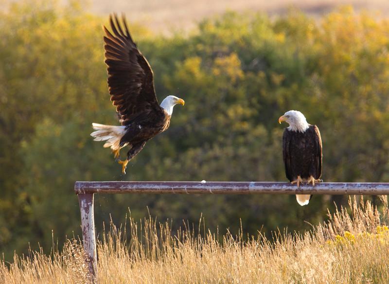 Eagles at Widgeon Pond, RRLNWR