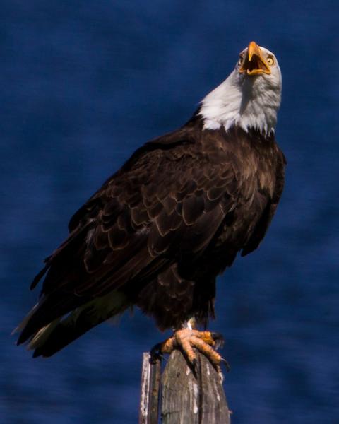 Bald Eagle looking alarmed at hawk flying overhead.