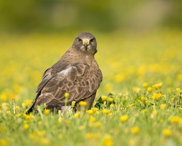 Swainson's Hawk in Island Park, Idaho. June 16, 2008.
