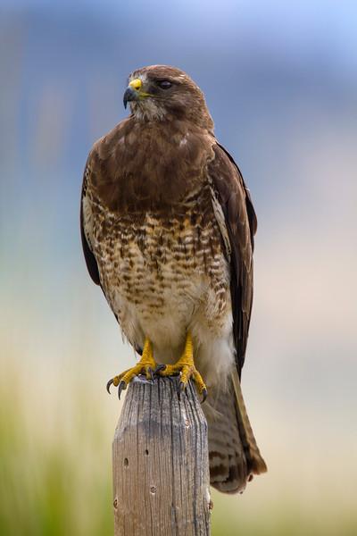 Swainson's Hawk, RRLNWR