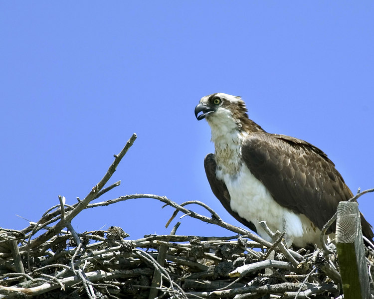 Osprey in nest next to Highway 20 near Island Park, ID, July 2006