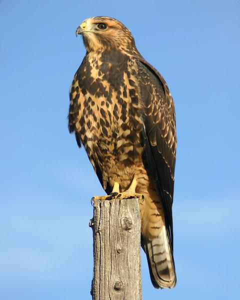 Swainson's Hawk resting on a post in Cattle field in Island Park, Idaho.