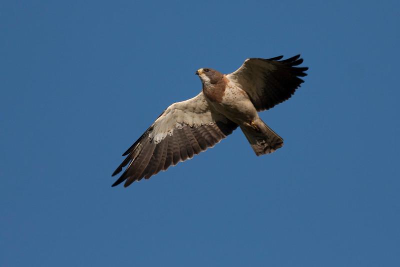 Swainson's Hawk in Targhee Forest, Aug 1, 2012 Idaho