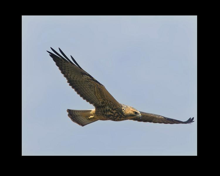 Swainson's Hawk flying over Sawtelle Meadows, near Island Park, ID August 16, 2007