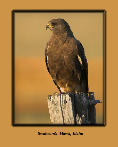 Swainson's Hawk at Sunset in Sawtelle Meadow, near Island Park, Idaho, mid-August, 2007.