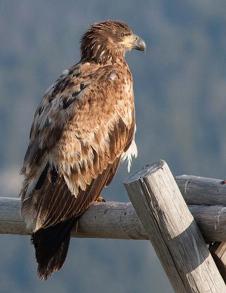2nd year Bald Eagle