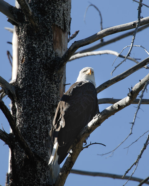 Bald Eagle in tree, Yellowstone National Park.