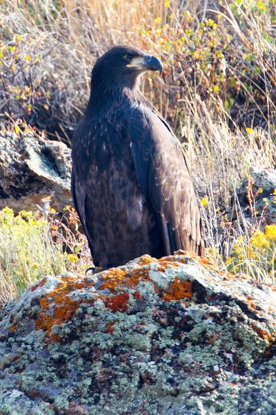 Juvenile Bald Eagle along Picnic Springs Creek in Red Rock Lakes National Wildlife Refuge. Aug 13, 2012.