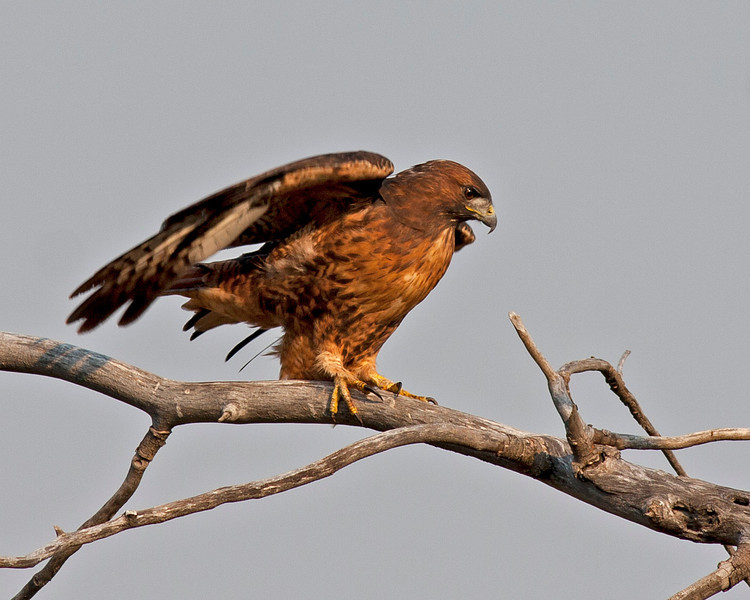 Red-tailed Hawk in Targhee Forest, Island Park, Idaho. Aug 23, 2012