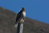 I think this is a Red-tailed Hawk near Goat Rock along the California Coast. Nov 2, 2010.