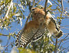 Red Shouldered Hawk in Ramona, CA stretching.