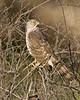Juvenile Cooper's Hawk in Silent Valley RV Club, San Jacinto Mtns, California. Feb 29, 2008