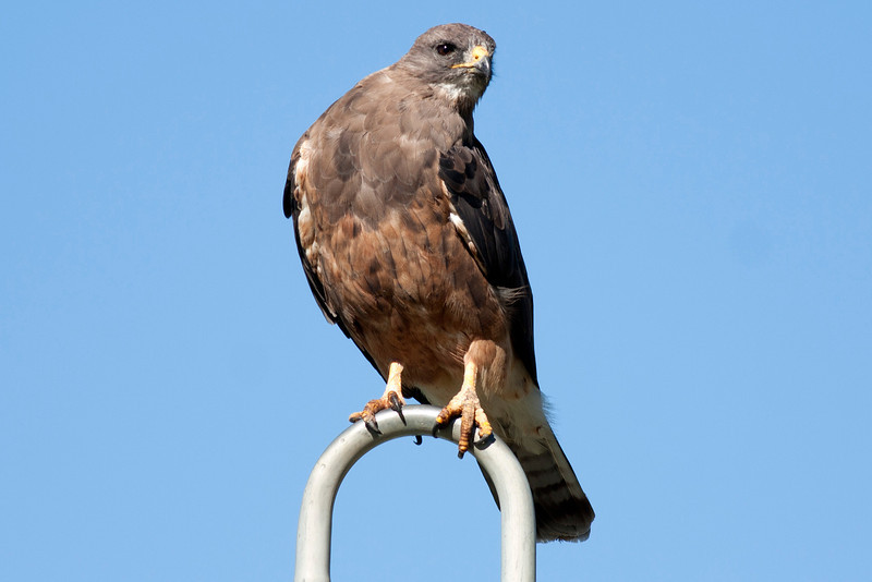 Swainson's Hawk sitting atop automatic water sprinkler at Meadow Vue Ranch, near Henry's Lake in Island Park, Idaho. Aug 4, 2012.