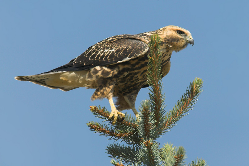 Swainson's Hawk drying off after a bath in the sprinklers. Idaho. Aug 2007