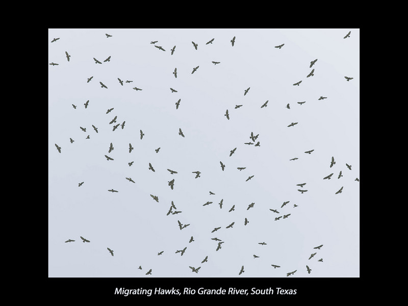 Migrating Hawks over Bentsen Rio Grande Valley State Park, April 5, 2007. The actual number of hawks was probably at least 4 to 5 times shown in this picture.